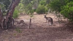 En obligatorisk kängurubild