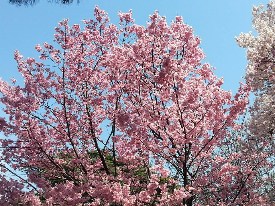 Sakura - de berömda körsbärsblommen i Japan. Utbyte på våren är aldrig fel!