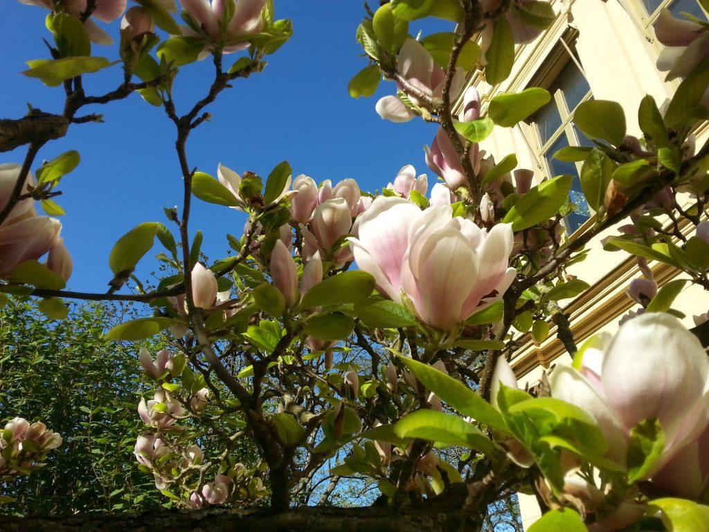 Magnolian i Botaniska trädgården i Lund - alltid en vacker syn