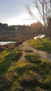 Känguru på Heirrison Island.